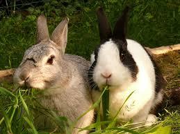 kanin gnaver