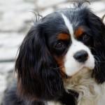Cavalier king Charles spaniel hunderace hund hunde hunderacer