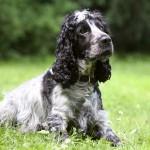 Engelsk cockerspaniel hunderace hund hunde hunderacer