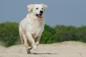 Golden retriever hunderace hund hunde hunderacer