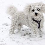 bichon havanais hunderace hund hunde hunderacer