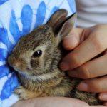 kanin parring avl fødsel unger