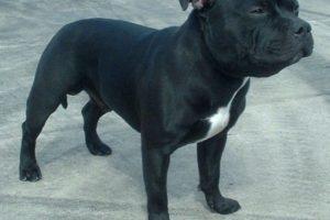 staffordshire-bull-terrier-77r600