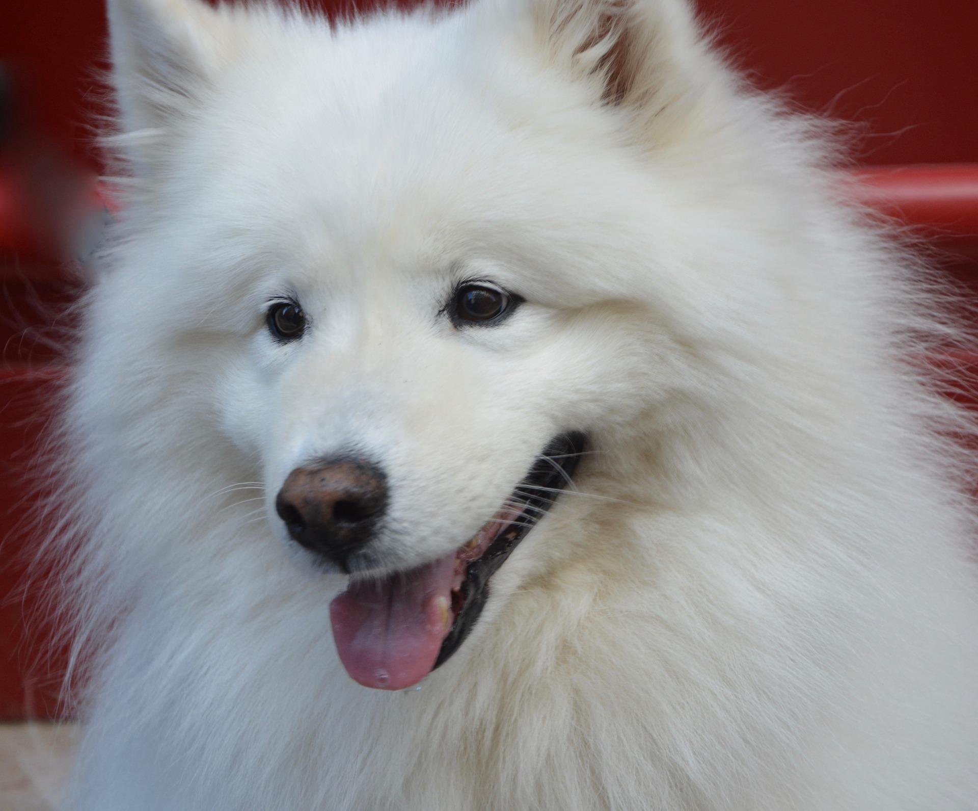 langhåret hund hvalp dyreformidlingen dk