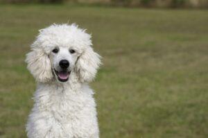 puddel hund