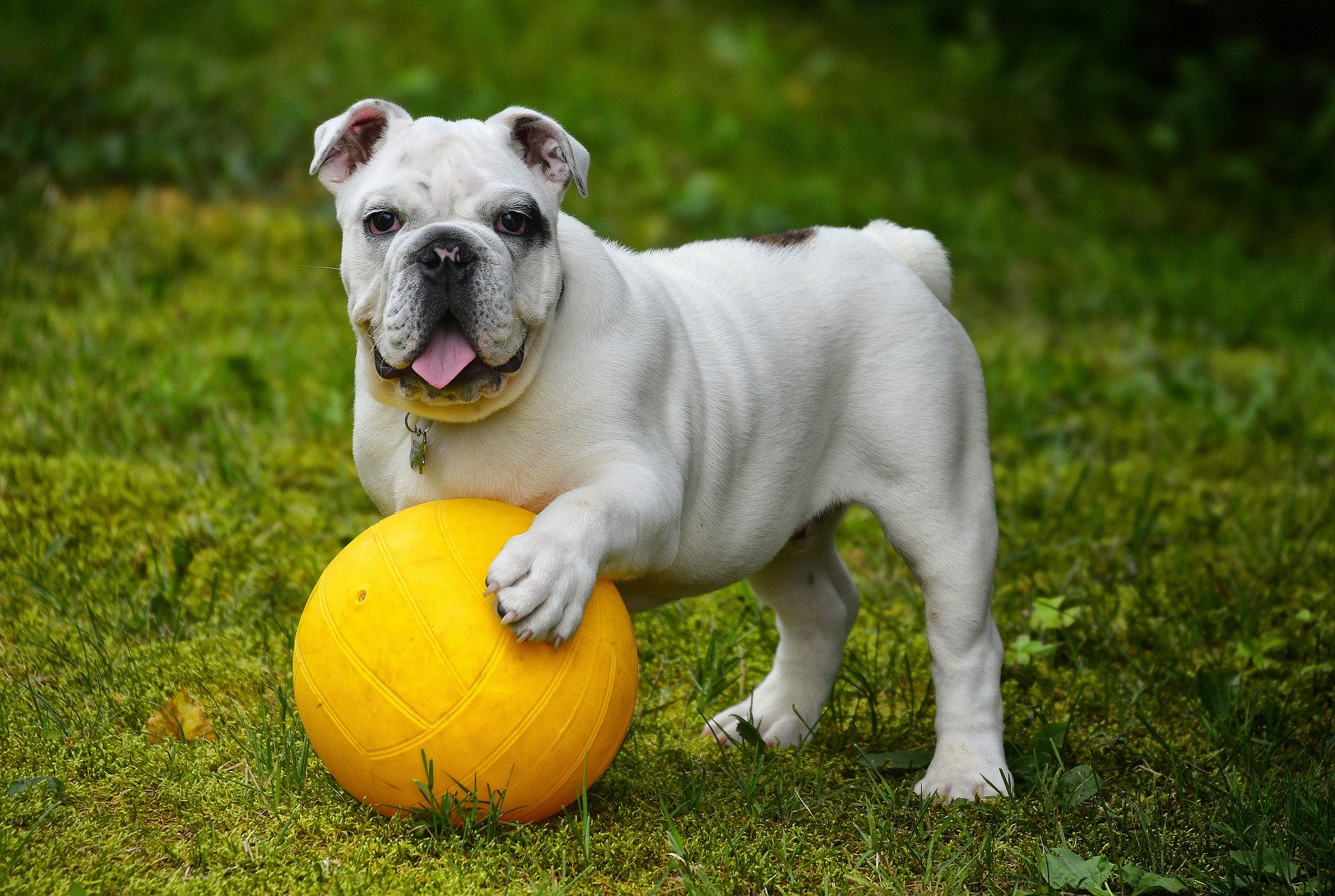 english-bulldog-hunderacer