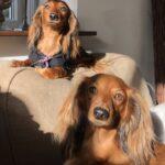 2 Gravhunde mini og dværg