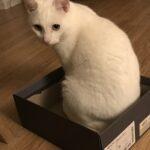 Hvid indekat/huskat savnes - Holstebro