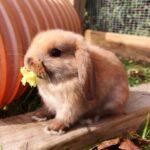 Minilop kaninunge