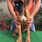 Femail boxer puppy