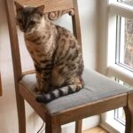 Dejlig bengaler til erfaren katteejer