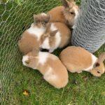 kanin unger