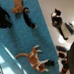 Alle Dyrs Ret`s Skønne Katte til Salg