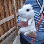 Jolly - kanin