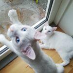 To fantastiske hvide katte sælges