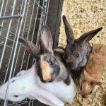 Kaniner søger nyt hjem