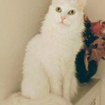 Smuk, hvid hunkat søger nyt hjem - gratis