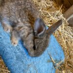 Belgiskkæmpe kanin unge