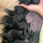 Lhasa Apso / Dværg puddel hvalpe sælges