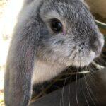 Kaninunger (dværgvæddere)
