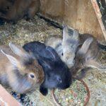 Voksen kaniner og kaninunger til salg