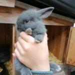Dværgvædder kaninunger sælges