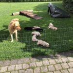 Labrador hvalpe