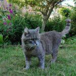 Efterlysning af kat i 7741 område