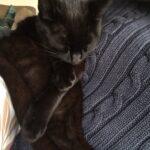 Fremlyser sort kat