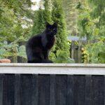 2900 hellerup helt sort kat