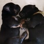 Blandingshvalpe til salg (Schæfer, Rottweiler og Labrador)