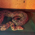 Kongeboa evt med terrarie