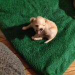 Chihuahua hvalp (75%)